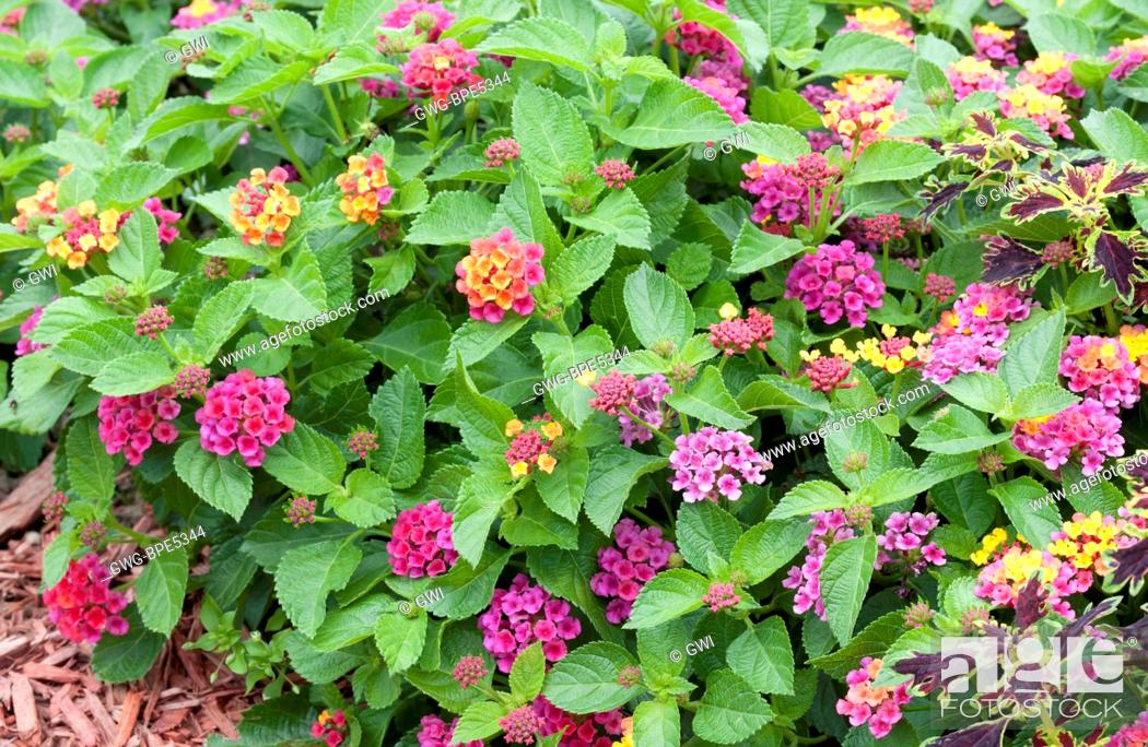 Lantana Anne Marie Stock Photo Picture And Rights Managed Image
