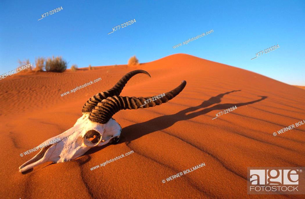 Stock Photo: Skull of springbok. Namib-Naukluft. Namibia.