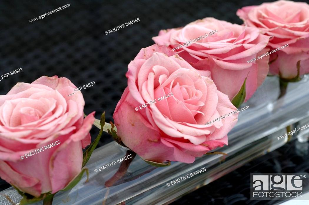 Stock Photo: Damask rose roses.