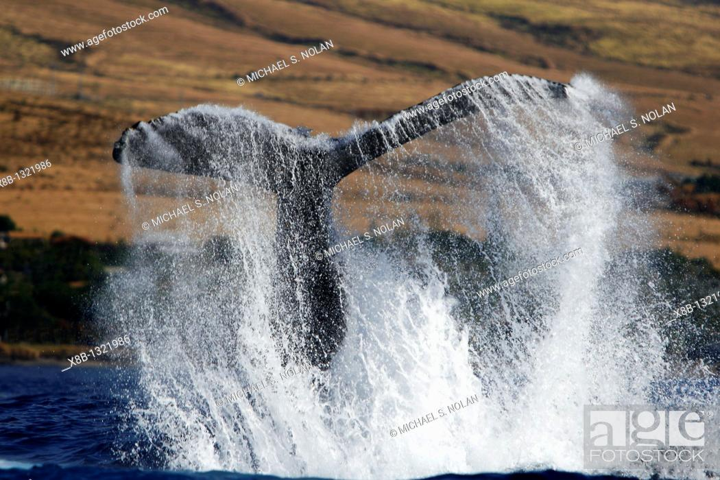 Stock Photo: Adult humpback Whale Megaptera novaeangliae mother tail-lobbing in response to boat approach off Mala Wharf in the AuAu Channel, Maui, Hawaii.