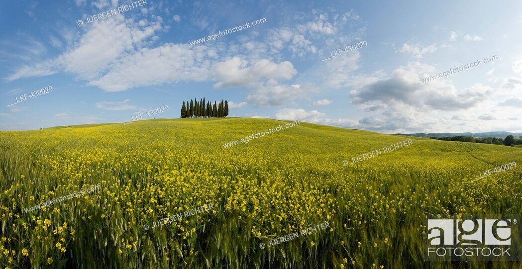 Stock Photo: Typical Tuscan landscape with cypress grove and yellow rape field, canola field near San Quirico d'Orcia, Val d'Orcia, Orcia valley, UNESCO World Heritage Site.