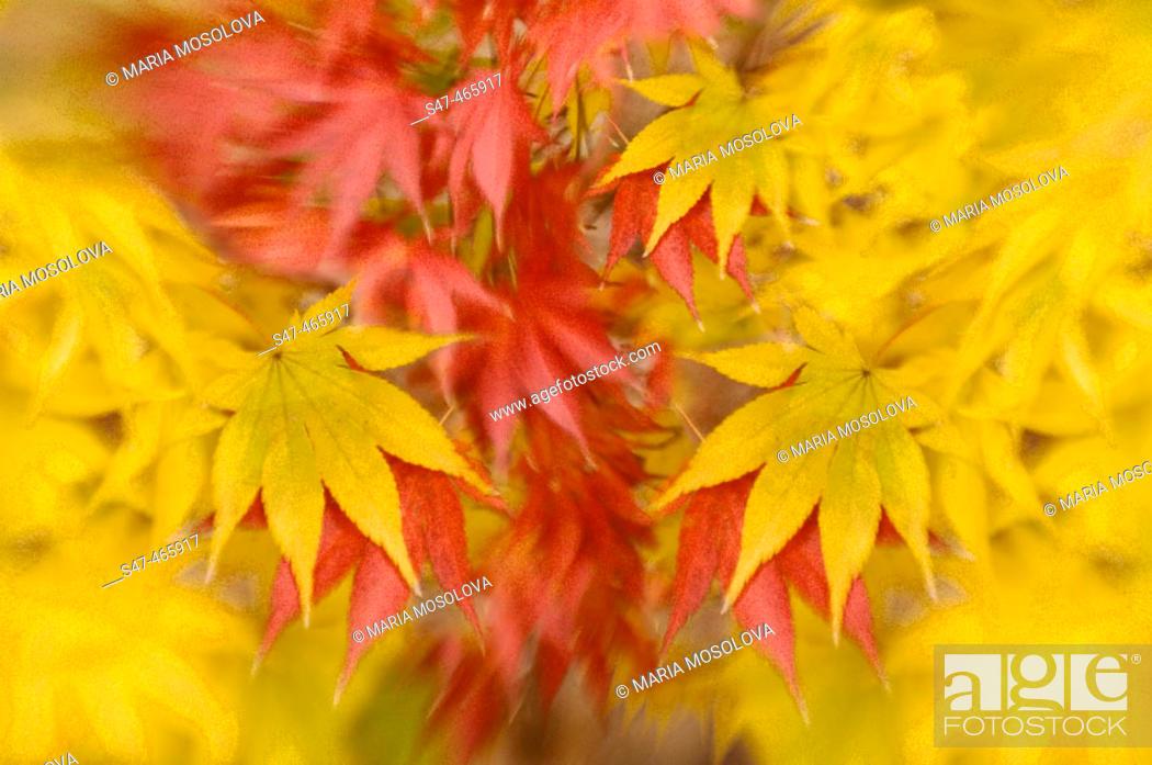 Stock Photo: Japanese Maple. Acer palmatum. November 2005, Maryland, USA.