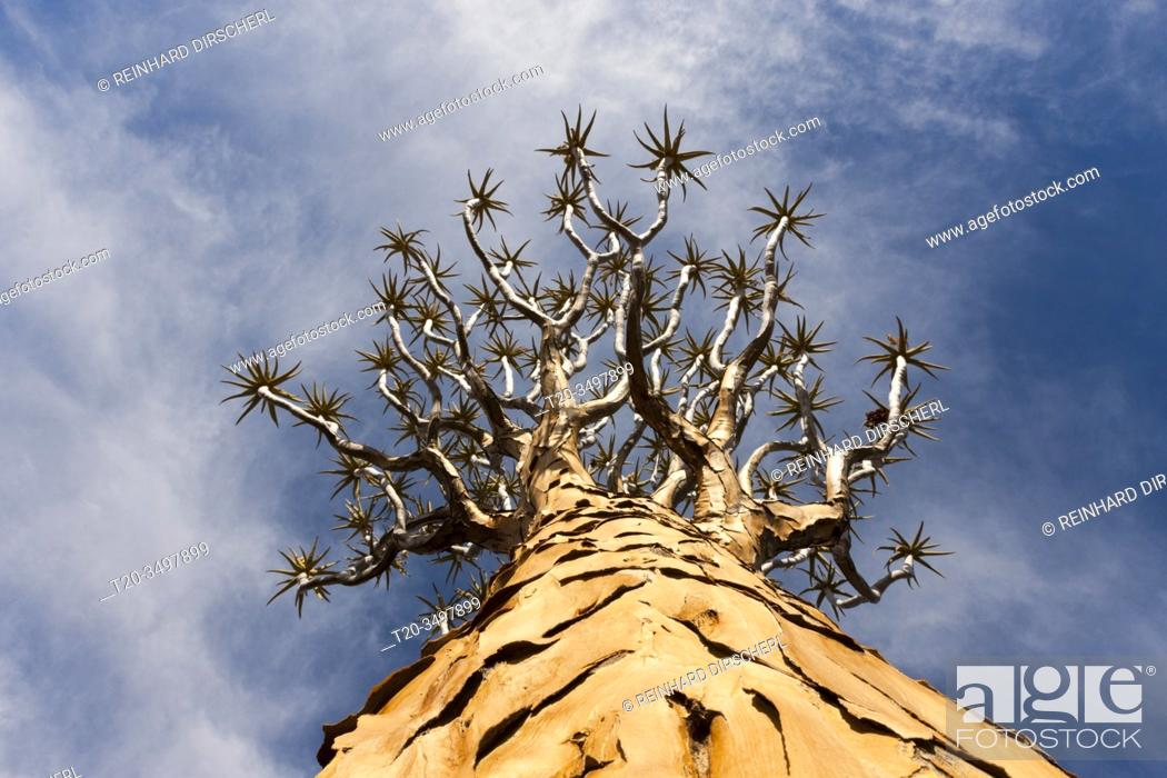 Stock Photo: Tree crown of a Quivertree, Aloidendron dichotomum, Keetmanshoop, Namibia.