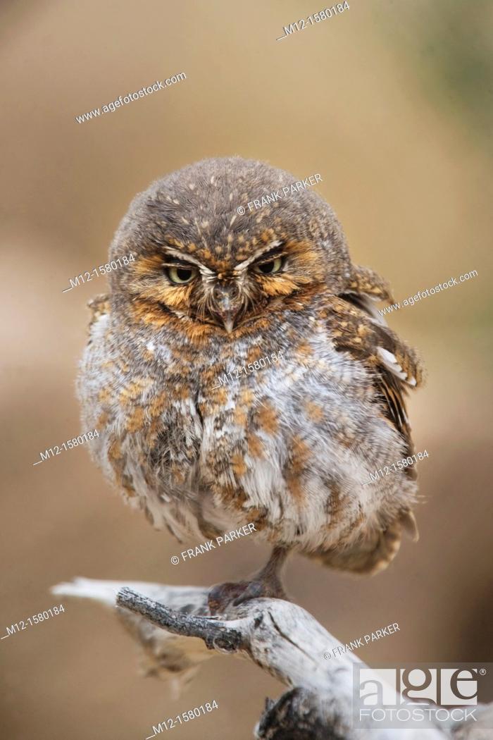Stock Photo: Elf Owl in Tucson Arozona.