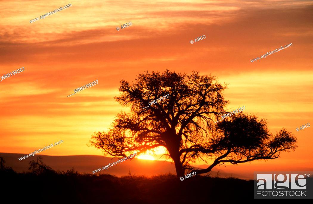Stock Photo: Camelthorn, Tree, at, sunrise, Sossusvlei, Namib, Naukluft, Park, Namibia,Acacia, erioloba.