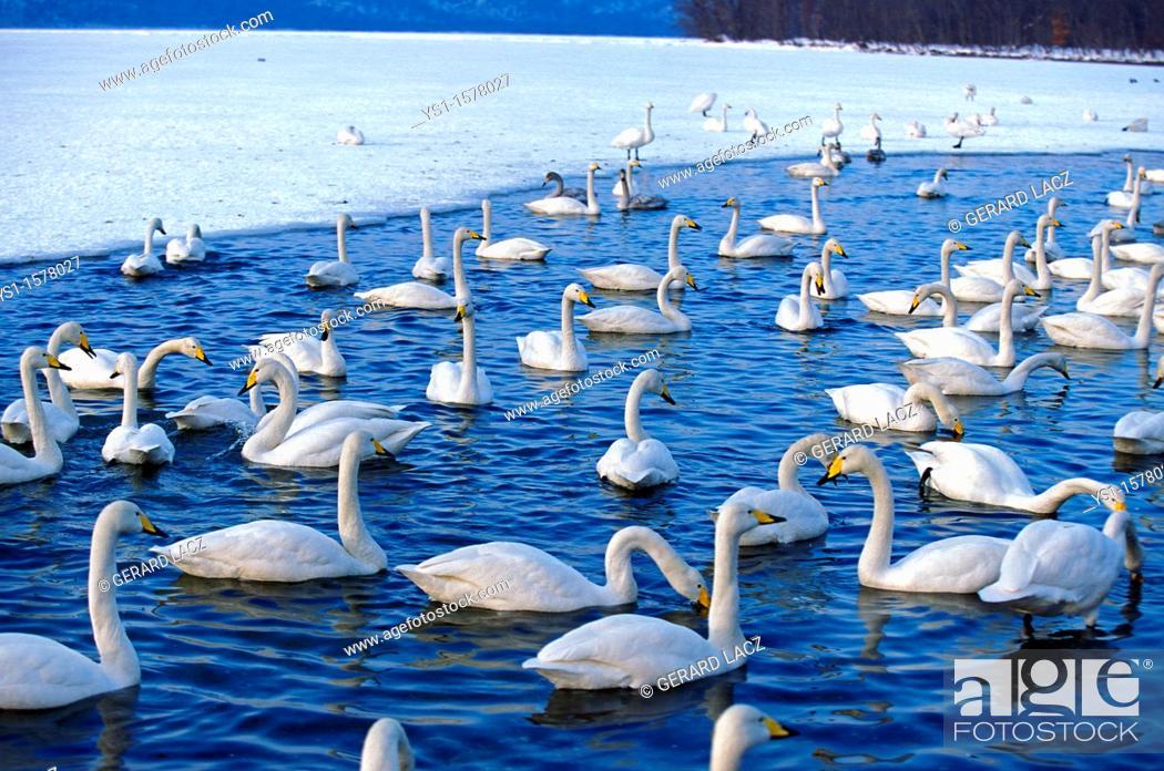 Stock Photo: Whooper Swan, cygnus cygnus, Group of Adults on Frozen Lake, Hokkaido Island in Japan.
