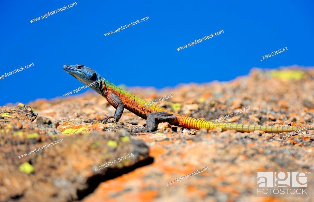Stock Photo: Rainbow lizard in the lichens, Matopos, Zimbabwe, Africa.