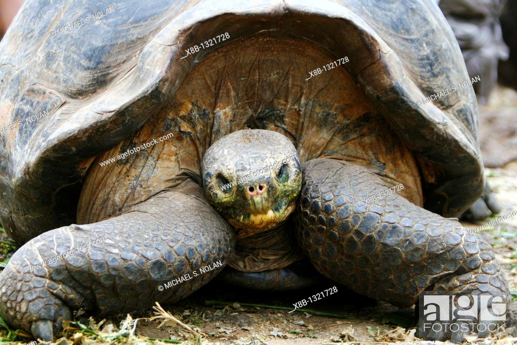 Stock Photo: Captive Galapagos giant tortoise Geochelone elephantopus head on at the Charles Darwin Research Station on Santa Cruz Island in the Galapagos Island Group.