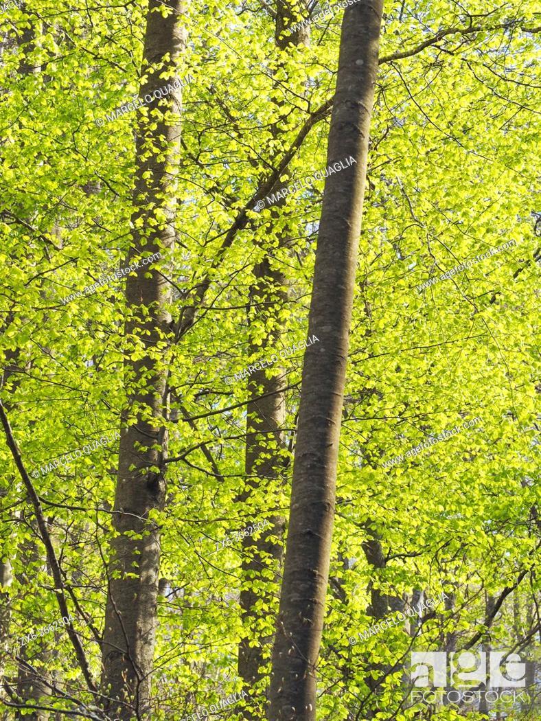 Stock Photo: Springtime beech forest (Fagus sylvatica) at El Convent site. Montseny Natural Park. Barcelona province, Catalonia, Spain.