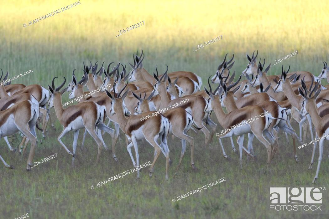 Stock Photo: Springboks (Antidorcas marsupialis), herd, running in the grassy Aob riverbed, Kgalagadi Transfrontier Park, Northern Cape, South Africa, Africa.