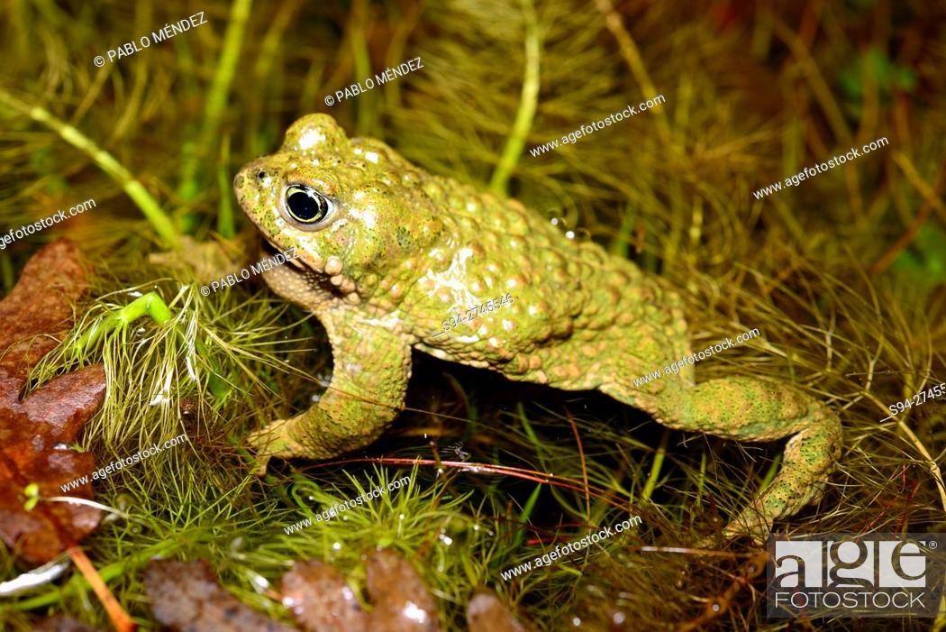 """Stock Photo: Natterjack toad """"""""Bufo calamita"""""""", in a ponds of Roblellano, La Cabrera, Spain."""