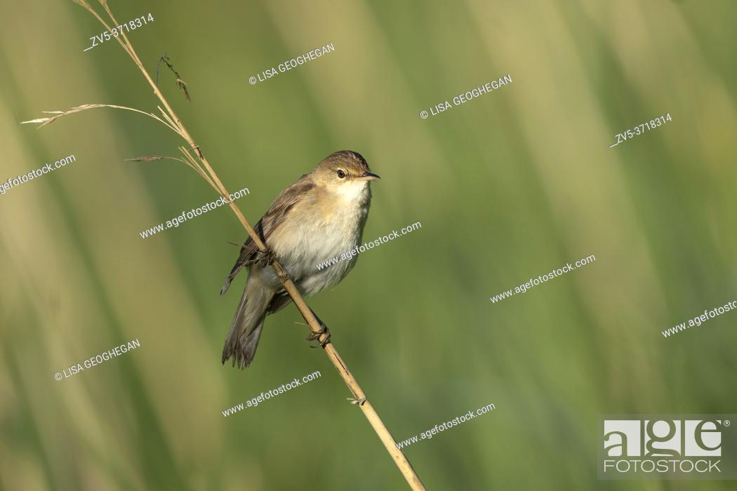 Stock Photo: Reed Warbler-Acrocephalus scirpaceus. Spring.