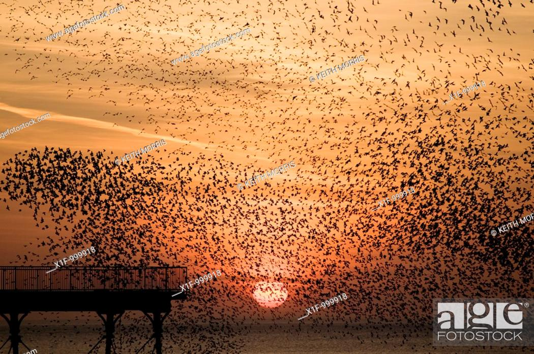 Stock Photo: a murmuration of starlings at sunset, Aberystwyth Wales UK.