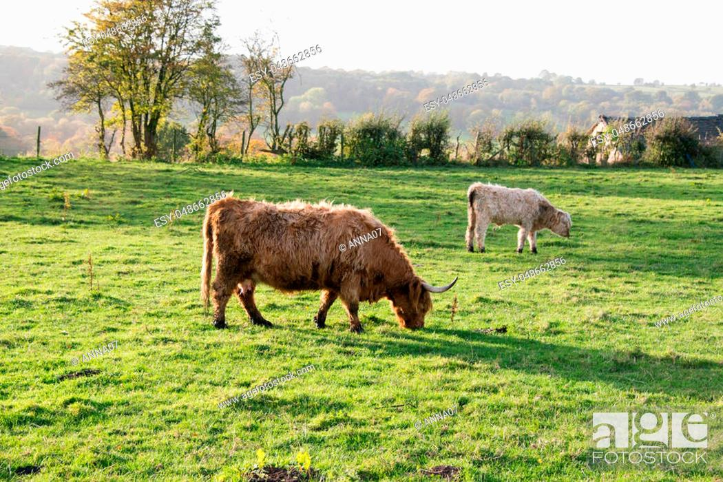 Stock Photo: A highland cow grazing in a field.
