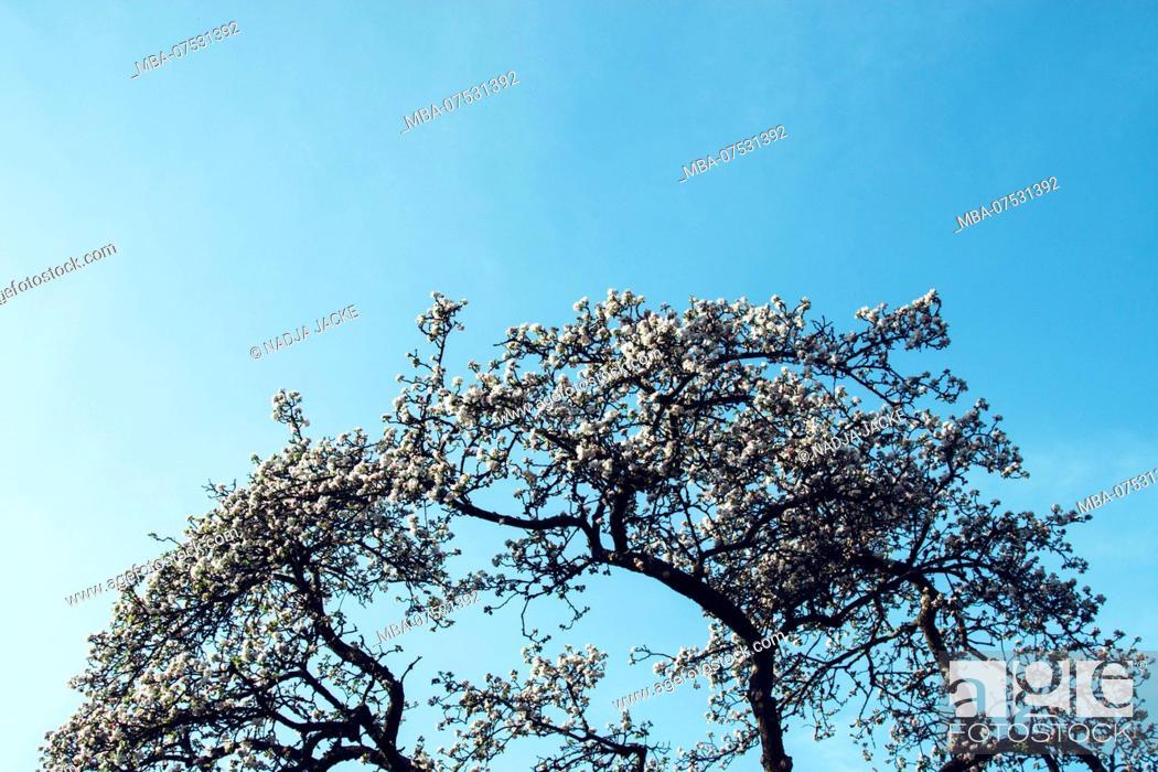 Stock Photo: Apple tree in full bloom in spring, blue sky in the background.