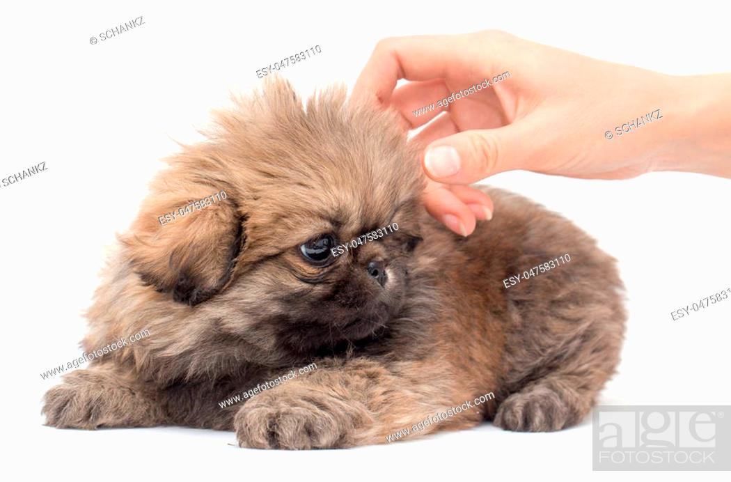 Stock Photo: Puppy in hand on a white background.