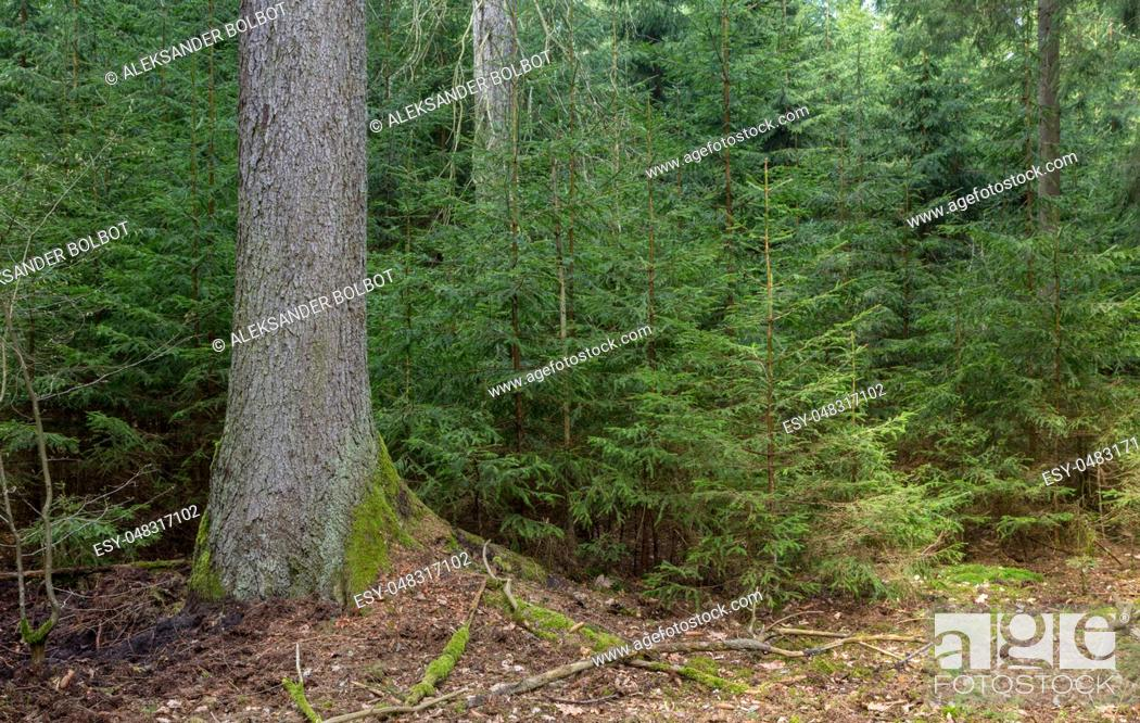 Stock Photo: Old Norway Spruce tree and juvenile ones around, Bialowieza Forest, Poland, Europe.
