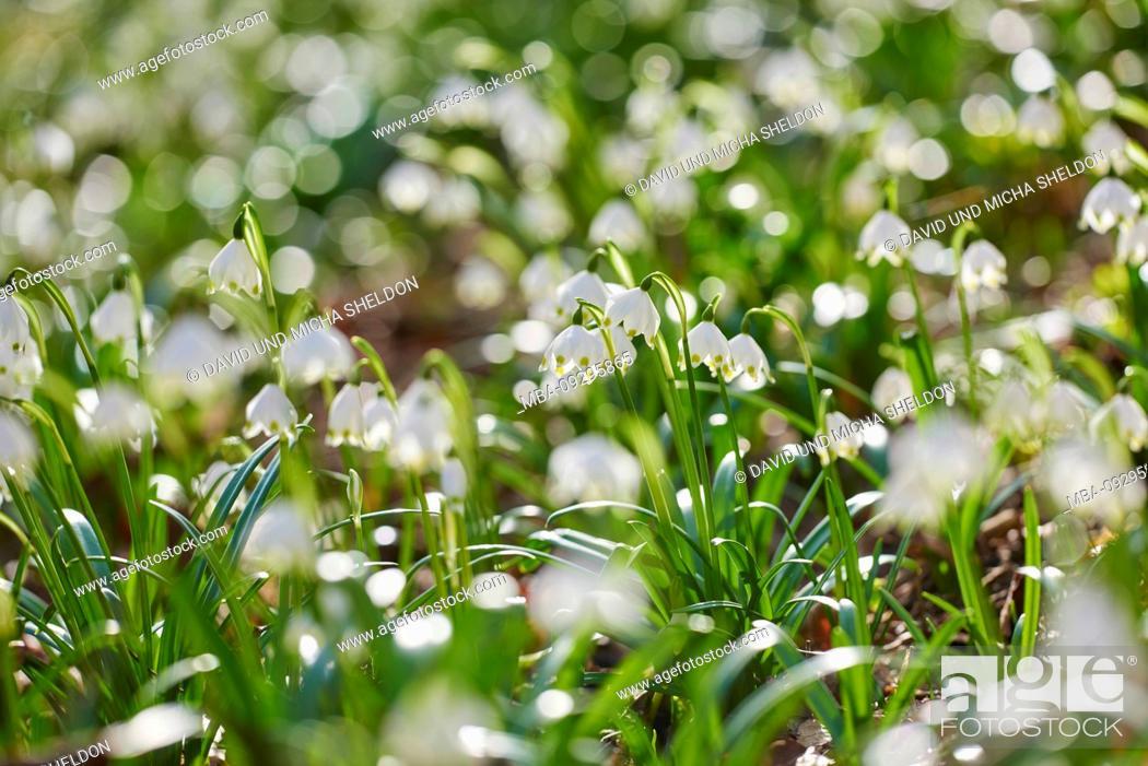 Stock Photo: spring snowflake, Leucojum vernum, close-up.