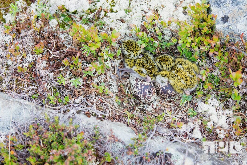 Imagen: European Golden Plover (Pluvialis apricaria) two youngs in the nest with two eggs and one hatching, Norway, Sor-Trondelag.