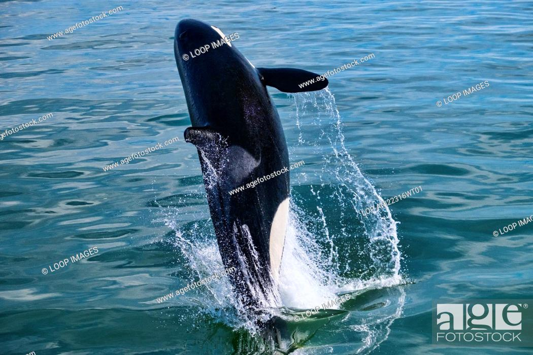 Stock Photo: A Killer Whale or Orca breaching the water in the Straits of Georgia off Vancouver.