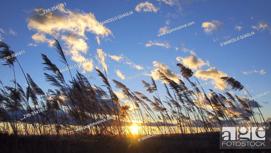 Stock Photo: Reeds (Phragmites communis) at sunset. Olost village countryside. Lluçanès region, Barcelona province, Catalonia, Spain.