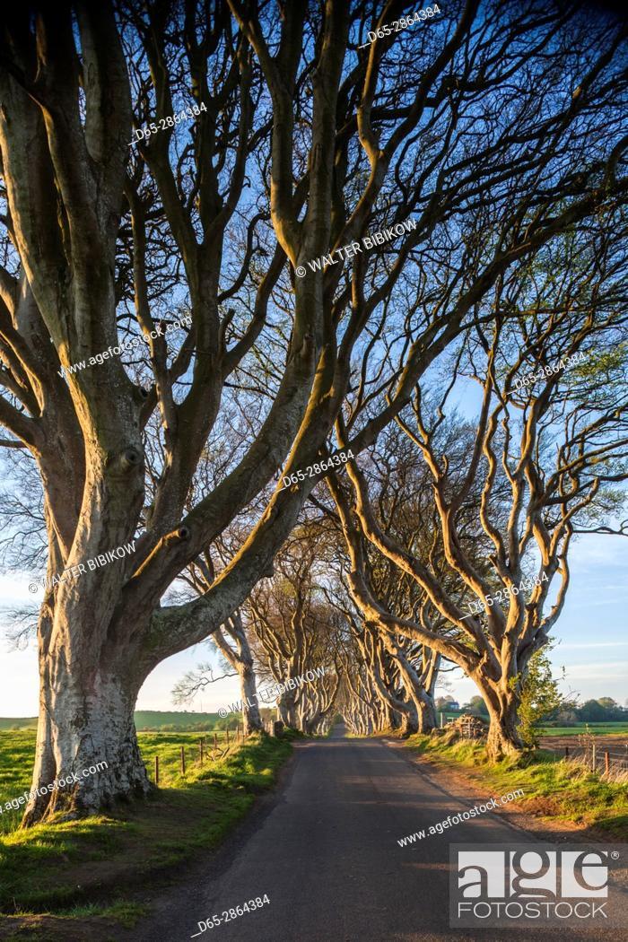 Stock Photo: UK, Northern Ireland, County Antrim, Ballymoney, The Dark Hedges, tree lined road, dawn.