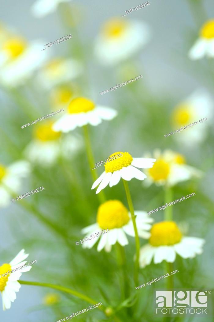 Stock Photo: Camomile Matricaria chamomilla.