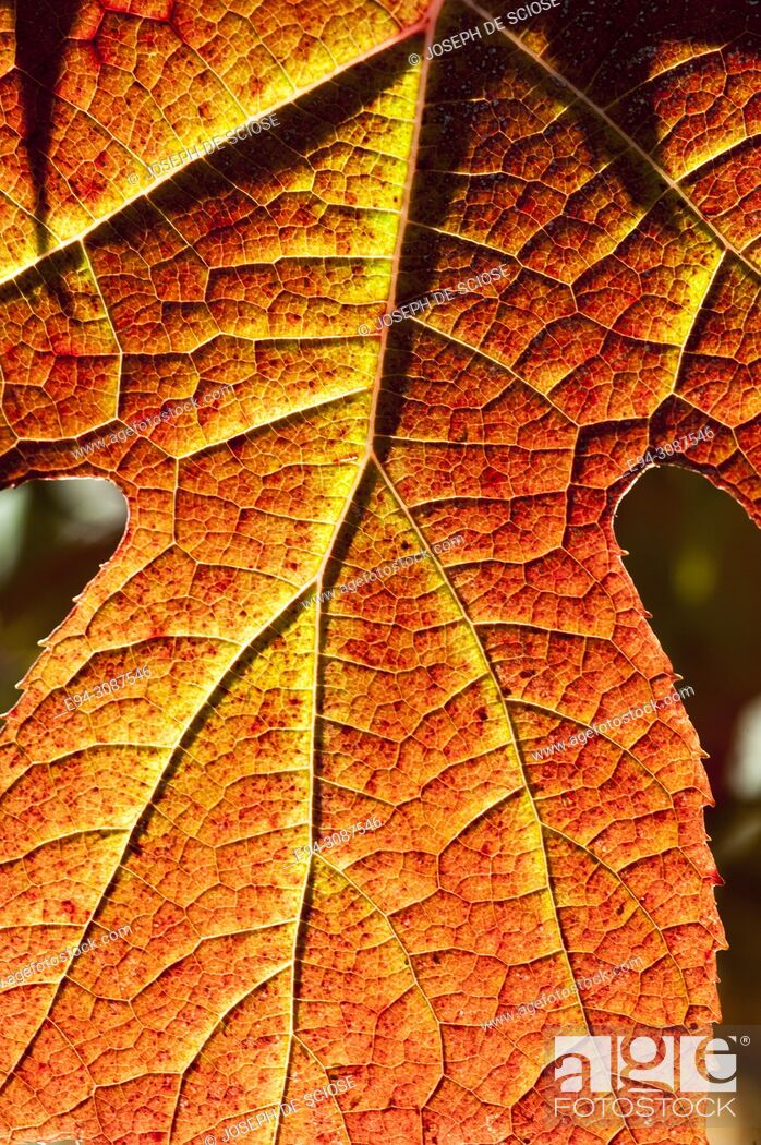 Stock Photo: Close-up of an Oak Leaf Hydrangea leaf in fall color.