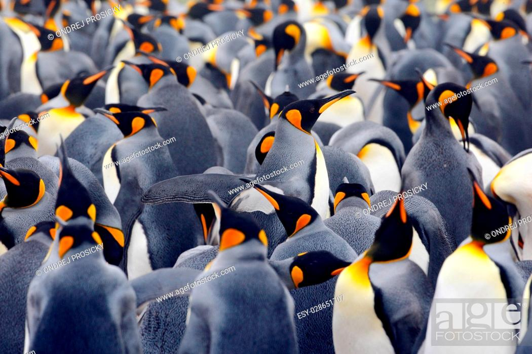 Imagen: King penguin colony, many birds together, in Falkland Islands.