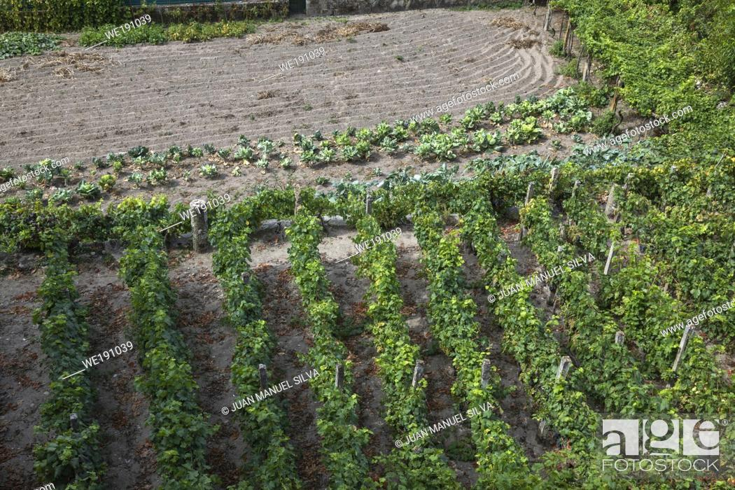 Stock Photo: Cultivated land with grape vines and vegetables in backyard of house, Allariz, Galicia, Spain.