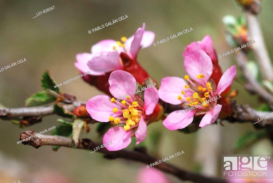 Stock Photo: Prunus prostrata, Castellon province, Spain.