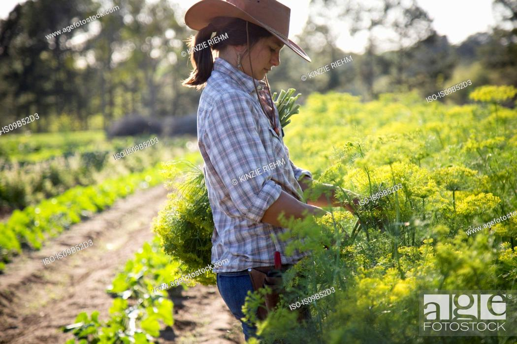 Stock Photo: Young woman selecting flowering dill (anethum graveolens) from flower farm field.