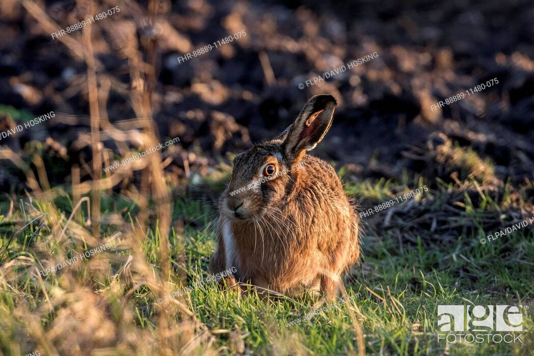 Stock Photo: Brown Hare at field edge.