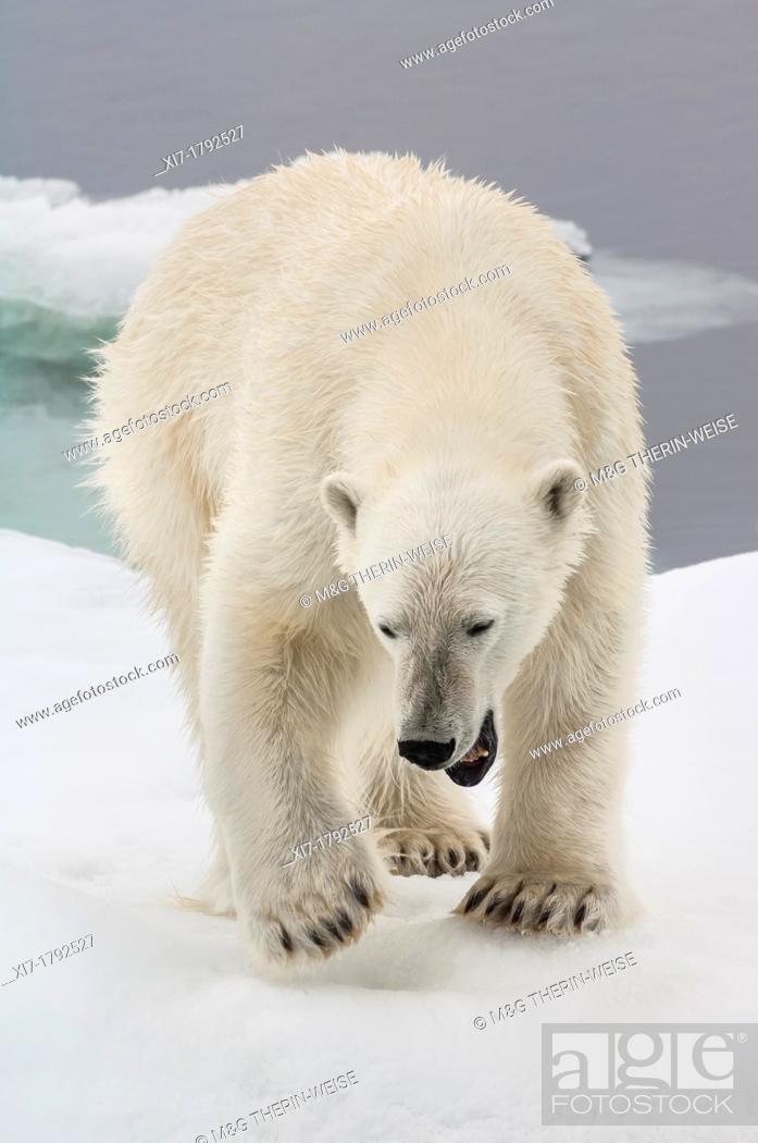 Stock Photo: Female Polar bear Ursus maritimus, Svalbard Archipelago, Barents Sea, Norway.