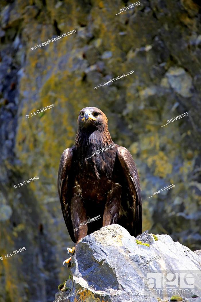 Stock Photo: Golden Eagle, (Aquila chrysaetos), adult on rock, Germany, Europe.