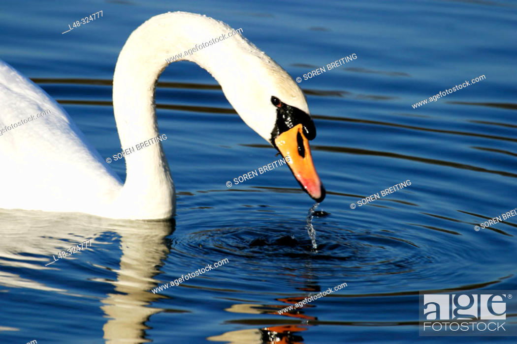 Stock Photo: Mute swane (Cygnus olor), a white swan, taking head up of waterwith dripping water from bill in close-up. In lake.
