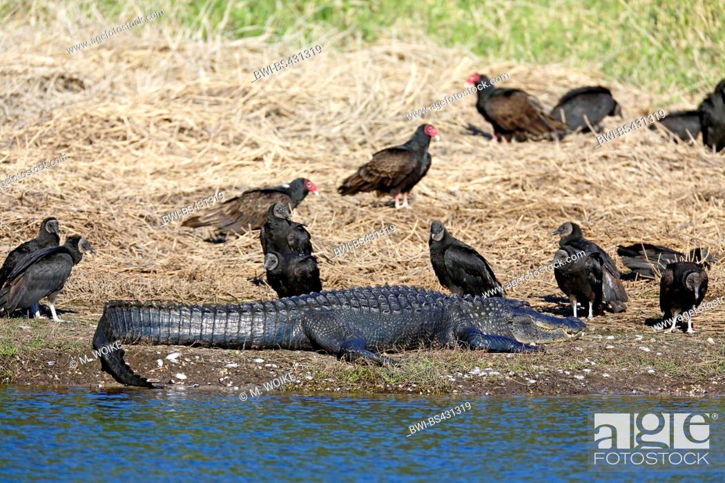 Stock Photo: American alligator (Alligator mississippiensis), lies at the riverside, surrounded by black and turkey vultures, USA, Florida.