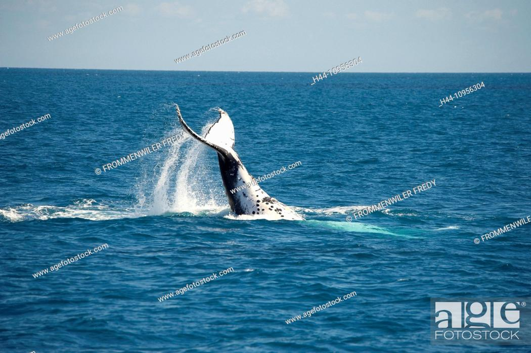 Stock Photo: Australia, Hervey Bay, Queensland, animal, humpback whale, megaptera novaeanglae, whale, fin.
