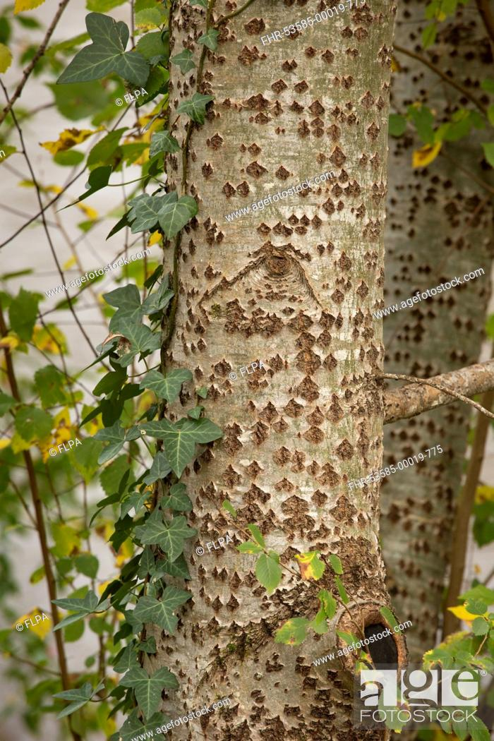 Stock Photo: White Poplar (Populus alba) close-up of trunk, with Common Ivy (Hedera helix), Dordogne, France, November.