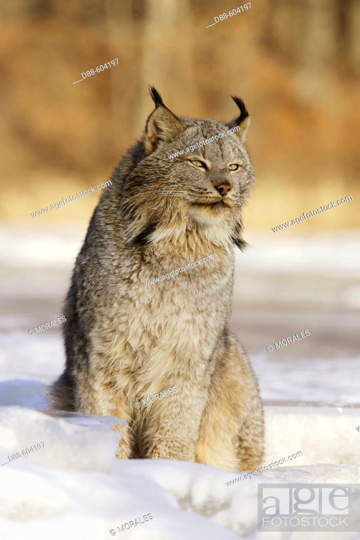 Stock Photo: Canadian Lynx (Lynx canadensis).