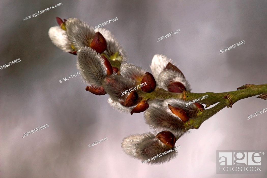 Stock Photo: pussy willow, goat willow, great sallow (Salix caprea), male inflorescences.