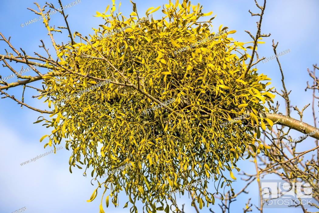 Stock Photo: mistletoe in a tree in wintertime in Germany.
