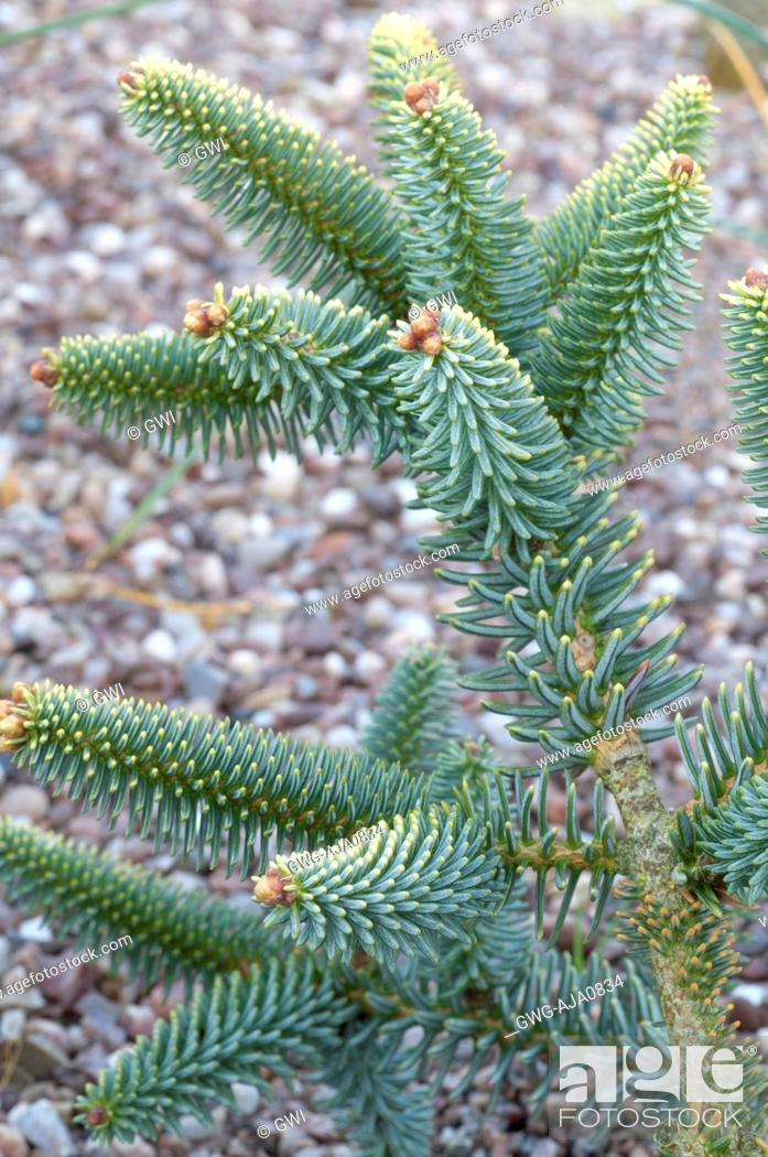 Abies Pinsapo Aurea Stock Photo Picture And Rights Managed Image