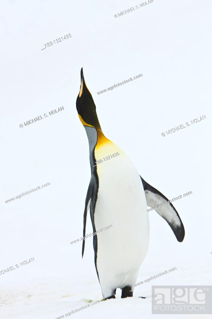 Stock Photo: A very rare sighting of a lone adult king penguin Aptenodytes patagonicus among breeding and nesting colonies of both gentoo and chinstrap penguins on Barrentos.