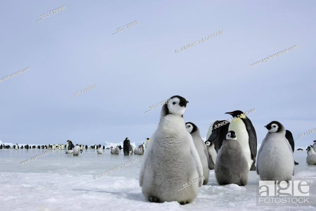 Stock Photo: emperor penguin - cubs - Aptenodytes forsteri.