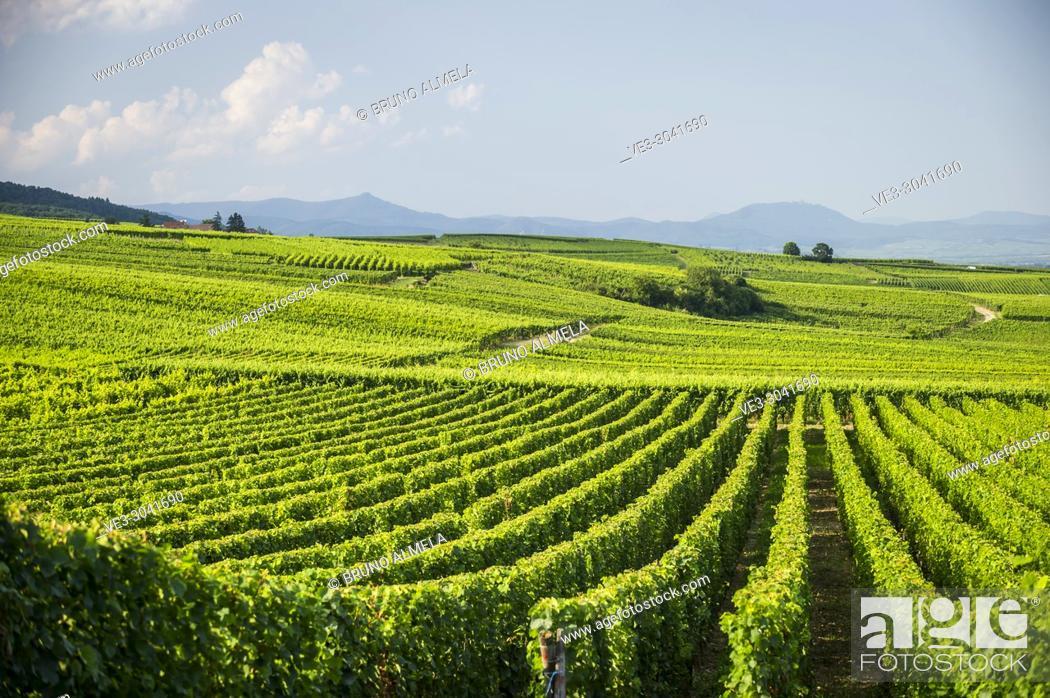 Stock Photo: Vineyards near Eguisheim, Alsace (department of Haut-Rhin, region of Grand Est, France).