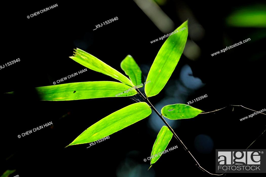 Stock Photo: Bamboo leave, asian.