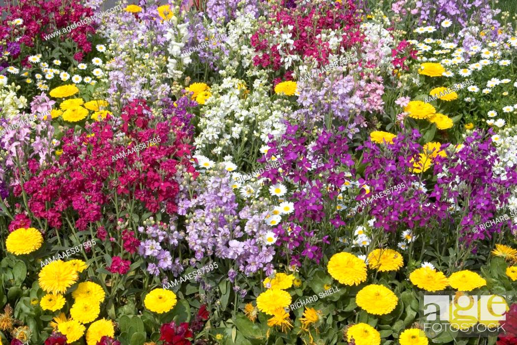 Stock Photo: Annual Bed, Common Stock Mix (Matthiola incana)and Pot Marigolds (Calendula officinalis) at Bakersfield, CA USA.