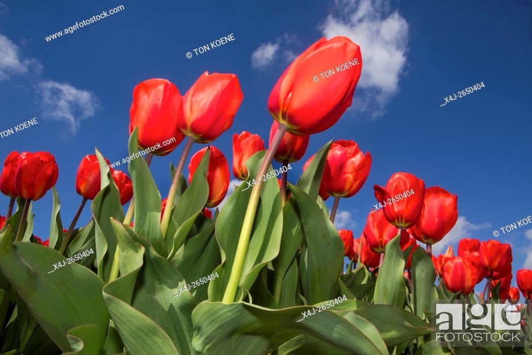 Photo de stock: Tulip fields in the Netherlands.