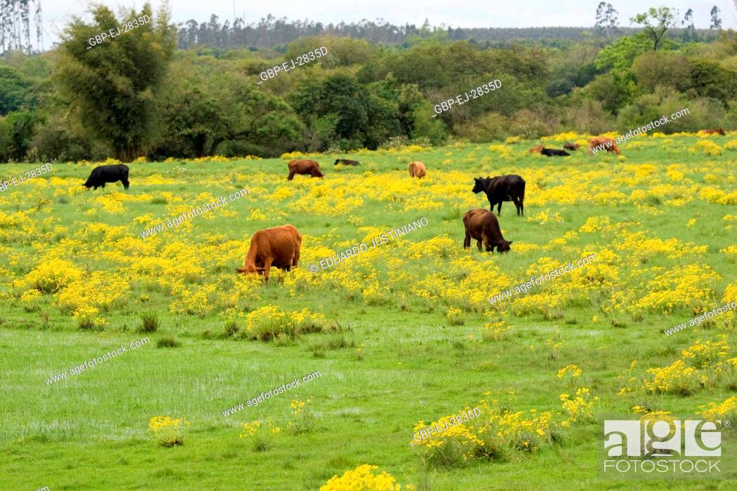 Stock Photo: Cattle Grazing on (Bos taurus), Arroio dos Ratos, Rio Grande do Sul, Brazil.